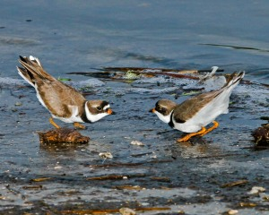 Two Plovers display.
