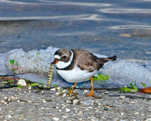 Plover with a marine worm.