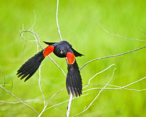 REDWING BLACKBIRD-0824sm