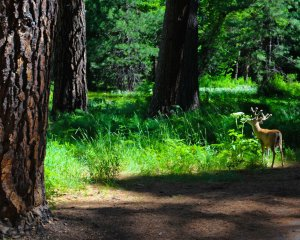 A mule deer quietly grazes near a strand of Sugar Pines.