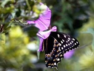 butterfly lg