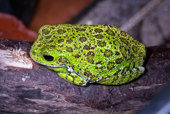 Froggy tails
