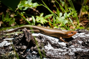 Broad head skink